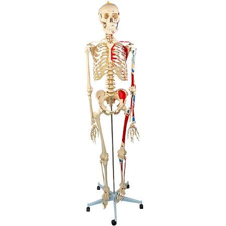 Esqueleto 168 cm, Articulado, com Inserções Musculares, Suporte e Base com Rodas TGD-0101-AN