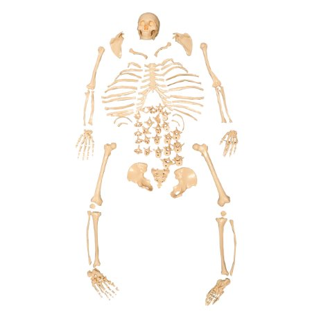 Esqueleto Padrão, Tamanho Natural, Desarticulado TGD-0101-C