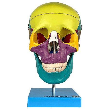 Crânio Didático Colorido, em 5 Partes TGD-0102-A
