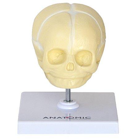 Crânio Fetal TGD-0102-C