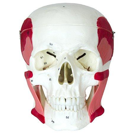 Crânio com Músculos da Mastigação TGD-0102-MT