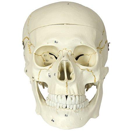 Crânio Numerado, em 2 Partes TGD-0102-N