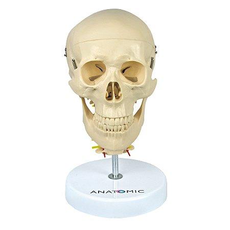 Crânio com Coluna Cervical e Cérebro, em 13 Partes TGD-0103-F