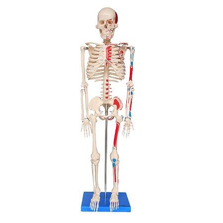 Esqueleto de 85 cm, Articulado, com Inserções Musculares, c/Base TGD-0112-AN