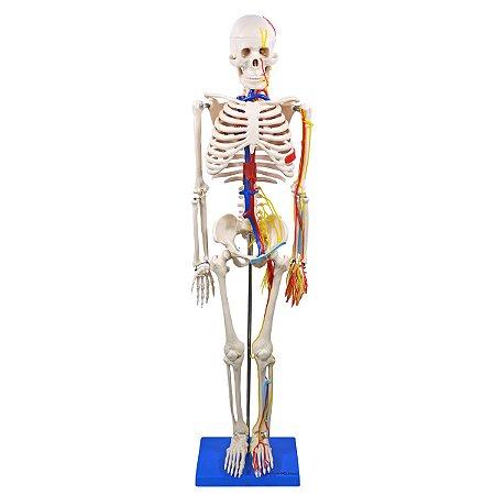 Esqueleto de 85cm, com Nervos e Vasos Sanguíneos TGD-0112-C