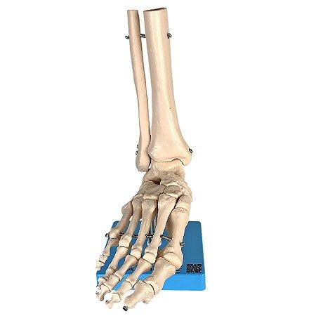 Esqueleto do Pé com Ossos Tornozelo TGD-0159-B