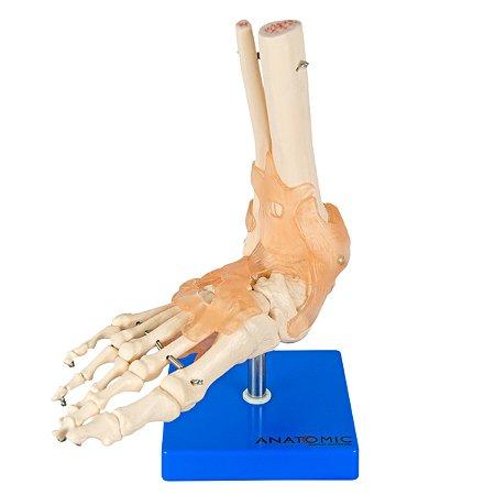 Articulação do Pé com Ligamentos TGD-0165-C