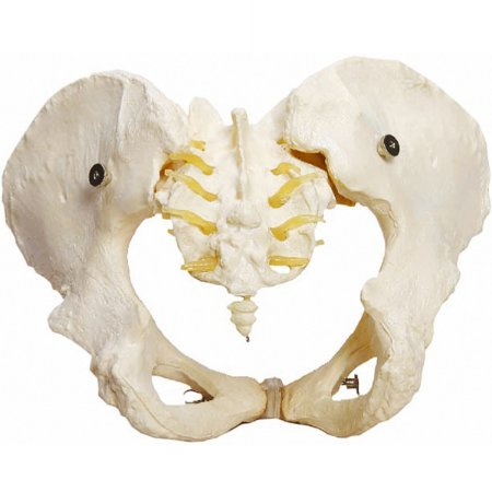 Esqueleto Pélvico Feminino TGD-0169-B