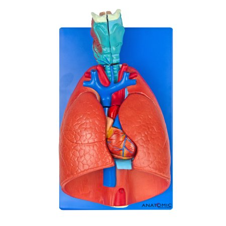 Sistema Respiratório e Cardiovascular, em 7 Partes TGD-0318-B