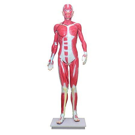 Manequim Muscular de 170cm, Assexuado, em 33 Partes TGD-4000