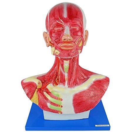 Cabeça e Pescoço Muscular TGD-4006