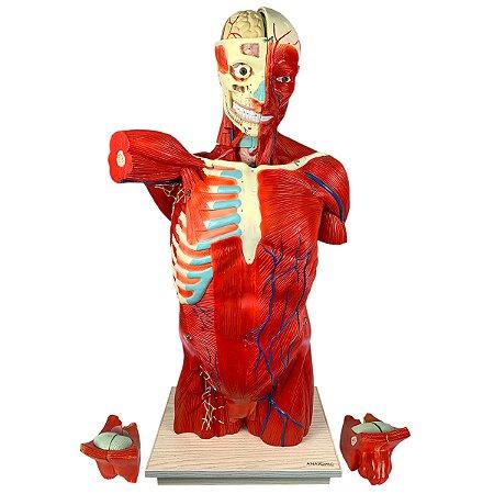 Torso Muscular 108 cm, Bissexual/Assexuado, com Órgãos Internos, em 27 Partes TGD-4016