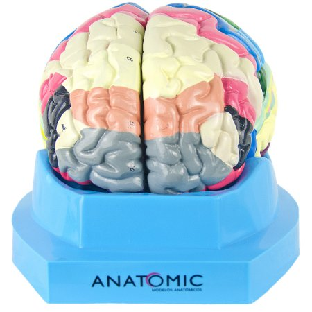 Cérebro com Região Funcional de Córtex em 2 Partes TZJ-0303-F