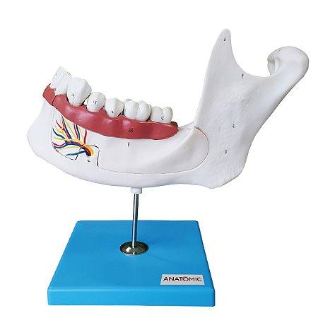 Anatomia do Dente e Mandíbula Inferior de um Jovem (18 anos), em 6 Partes TZJ-0313
