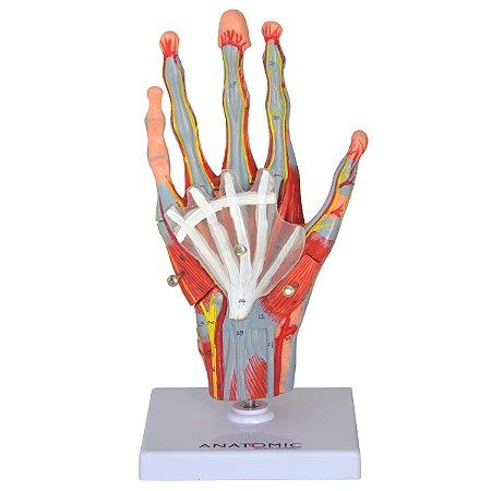 Mão Muscular com Principais Vasos e Nervos, em 5 Partes TZJ-0330-M