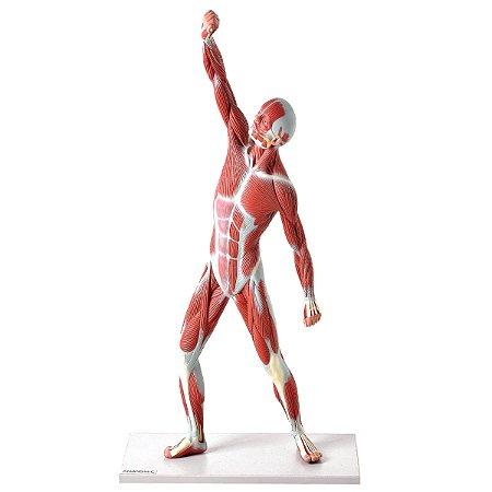 Manequim Muscular de 50cm TZJ-4005