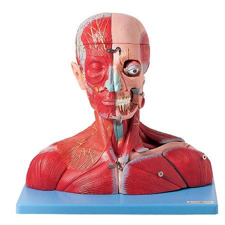 Cabeça e Pescoço Muscular, com Vasos, Nervos e Cérebro, em 19 Partes TZJ-4006-A