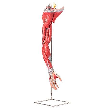 Músculos do Membro Superior com Principais Vasos e Nervos, em 6 Partes TZJ-4010-A
