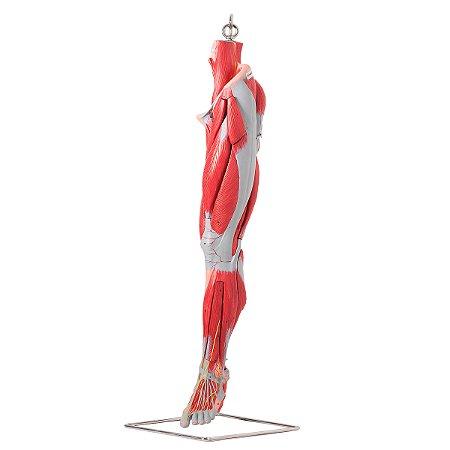 Músculos do Membro Inferior com Principais Vasos e Nervos, em 10 Partes TZJ-4020-A