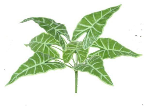 Folhagem Alocasia Forração Real Toque X9 (Verde Creme) 42 cm