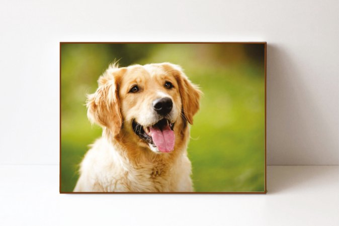 Quadro em Canvas Cachorro Golden
