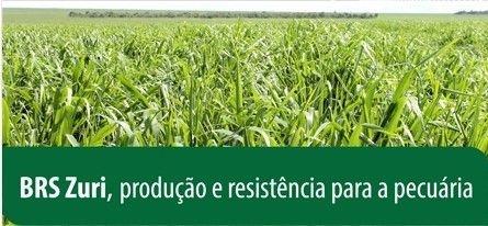 Panicum maximum cv. BRS ZURI - Revestido  (Embalagem 10 kg) - Preço/kg: R$19,44