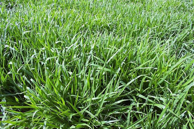 Brachiaria Híbrida cv BRS Ipyporã - Revestida (Embalagem 10 kg) - Preço p/kg: R$18,39