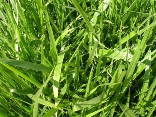 Brachiaria decumbens cv. BASILISK - Revestida (Embalagem 10kg) - Preço p/kg: R$ 15,71