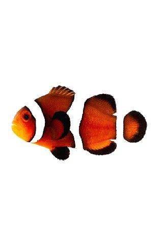 "Peixe-Palhaço ""Caramel"""