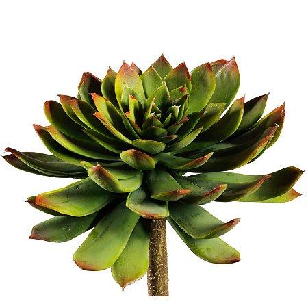 Suculenta Echeveria