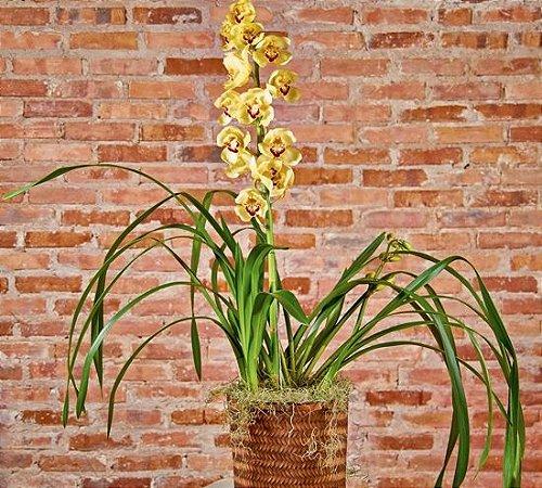 Orquídea Cymbidium amarela no cachepô rústico