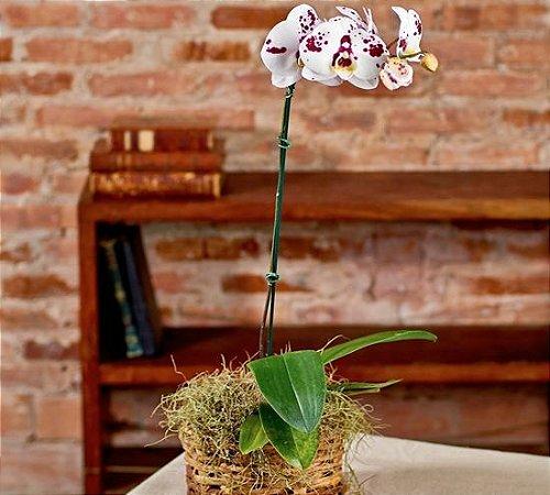 Orquídea phalaenopsis exótica em cachepô rústico.