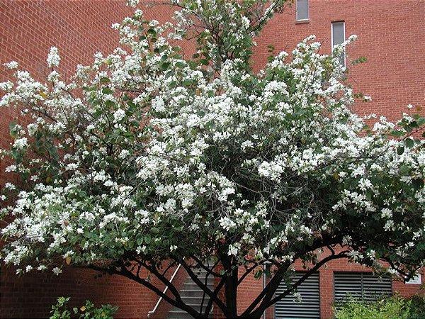 Sementes de Pata de Vaca Flor Branca - Bauhinia variegata - 100 gramas