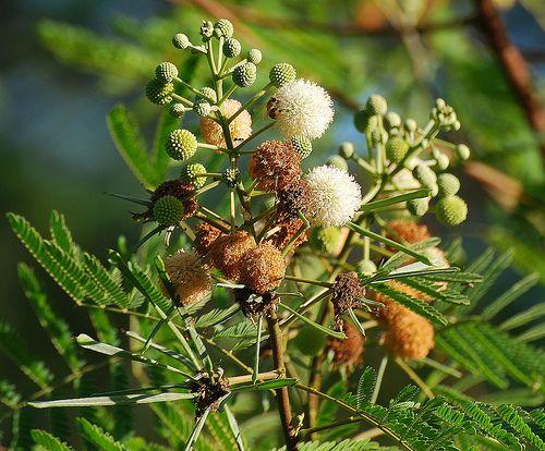Sementes de Leucena - Leucaena leucocephala - 100 gramas