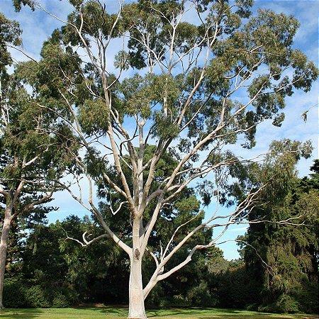Sementes de Eucalipto Citriodora 100 gramas