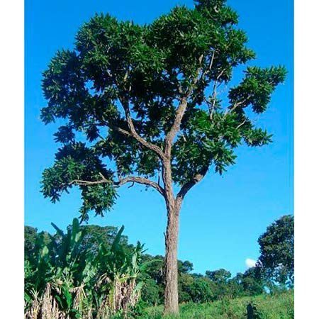 Sementes de Cedro Rosa - Cedrela fissilis - 100 gramas