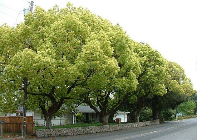 Sementes de Canela Cânfora - Cinnamomum camphora - 100 gramas