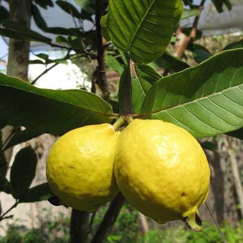 Sementes de Goiabeira Amarela - 100 gramas