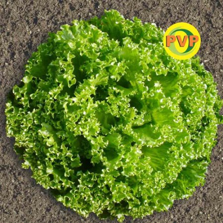 Sementes Alface Crocante Tecnoseed - Envelope 1gr