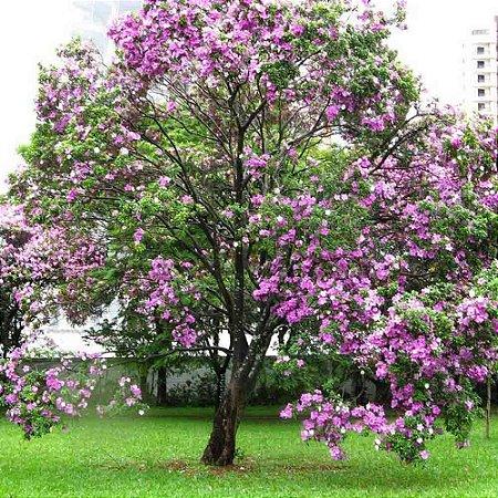 Sementes de Pata de Vaca Flor Roxa - Bauhinia purpurea - 100 gramas