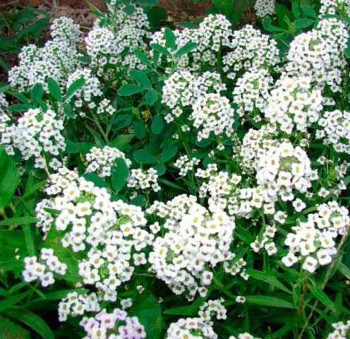Sementes Alyssum Compactum Branco - 300mg