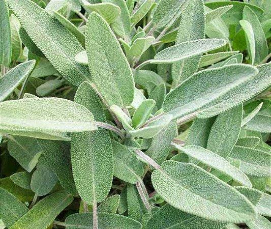 Sementes Salvia (Para Tempero) Tecnoseed - Envelope 150mg