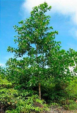 Sementes de Acácia Mangium - 100 gramas
