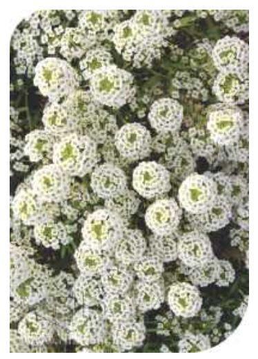 Sementes Alyssum Compactum Branco - Envelope 900mg