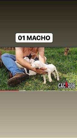 Filhotes De Dogo Argentino  BANDIDA X TORPEDO