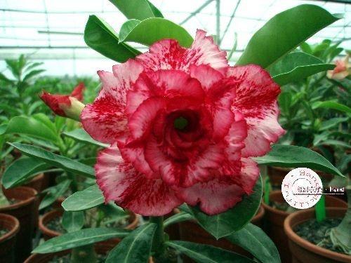 Semente Mr-KO 21 - PINK e VERMELHA Matizada - Kit com 5 sementes Flor Tripla