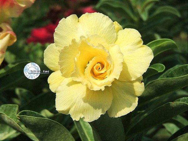 Semente Mr-KO 55 - AMARELA - Kit com 5 sementes Flor Tripla