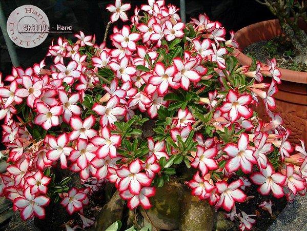 Semente Mr-KO Noble Concubine -  Kit com 5 sementes Flor Simples
