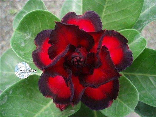 Semente Mr-KO 46 - Kit com 5 sementes Flor Dobrada