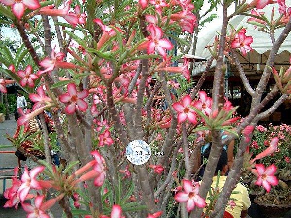 Semente Mr-KO Somalense - Branca com borda Pink - Kit com 5 sementes Flor Simples pequena